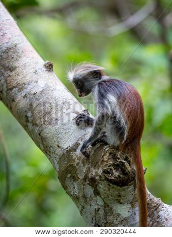 Young Red Colobus monkey in forest, Zanzibar