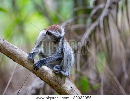 Funny young Red Colobus monkey on tree branch in forest, Zanzibar
