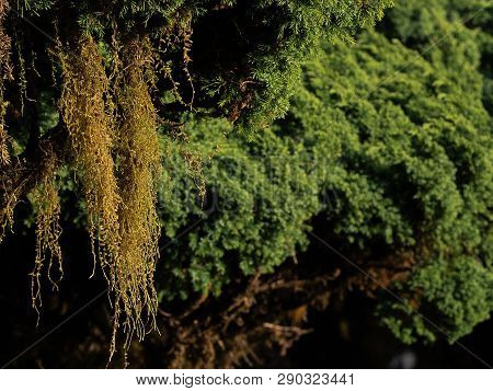 Tillandsia Usneoides Or Spanish Moss Decoration Hang On A Tree