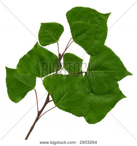 Green branch of a poplar on the isolated white background poster