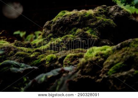 Beautiful Green Moss On The Floor In The Dark, Moss Closeup, Macro. Beautiful Background Of Moss For