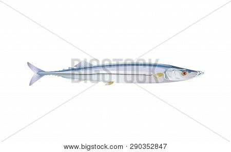 Pacific Saury Fish Isolated On Light Background. Fresh Fishes In A Simple Flat Style. Vector For Des
