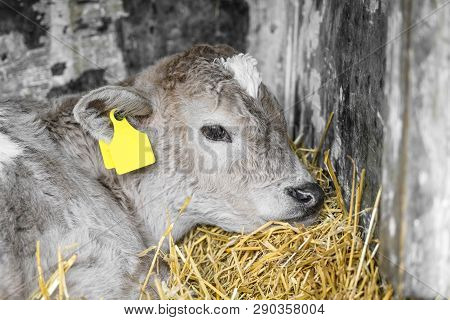Adorable Calf In A Stable Taking A Nap In The Golden Hay On A Rural Farm