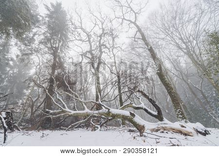 Fallen Tree In A Misty Forest In The Winter With Tall Trees In The Fog