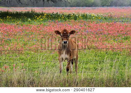 Babycalf In A Pasture Of Wildflowers Near San Antonio, Texas