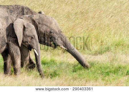 African elephants eating the lush green grass of the Masai Mara. Mother and child with space for text.