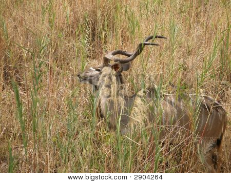 A kudu in the tall grass in South Africa poster