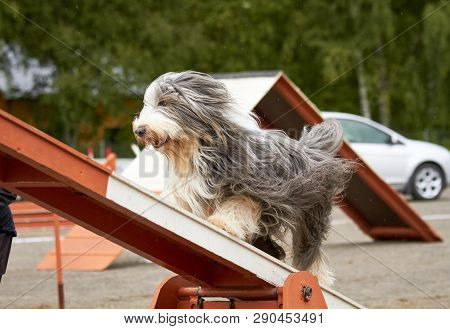 Bearded Collie Walking Over A Hurdle At Dog Agility Training. Big Fur Blowing In Wind. Action And Sp