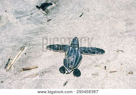 Leatherback Sea Turtle Hatchling On A Sandy Beach Just After Emerging From The Nest