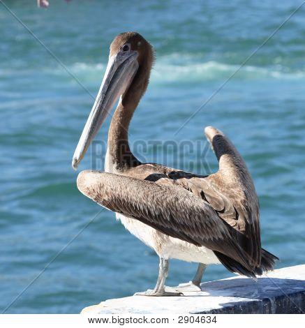 Brown Pelican1