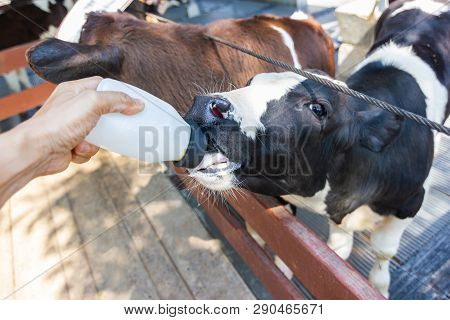 Baby Cow Feeding On Image & Photo (Free Trial) | Bigstock