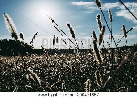 Grass In The Field At Dawn. Silhouette Of Plants Against The Background Of Dawn In Spring Or Summer.