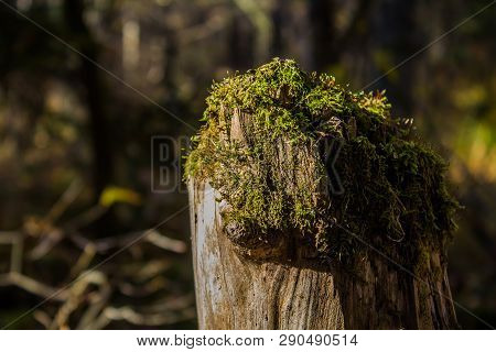 Stump In The Forest. The Nature Of Russia. Moss On The Stump. Moss On The Tree.