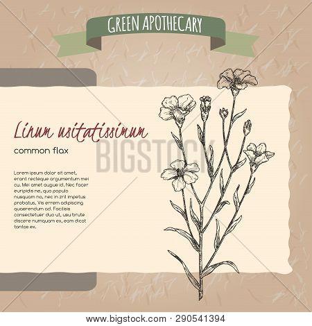Linum Usitatissimum Aka Common Flax Sketch. Green Apothecary Series.