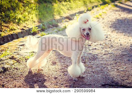 Dog Poodle With A Haircut For A Walk. Dog Poodle. Dog With A Haircut