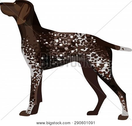 German Short Haired Pointer, Detailed With Spotty Brown Color, Isolated On White, Vector Illustratio