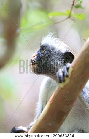 Red colobus monkey in jungle, Zanzibar