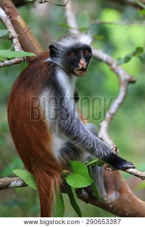 Red Colobus monkey among green branches in Jungle