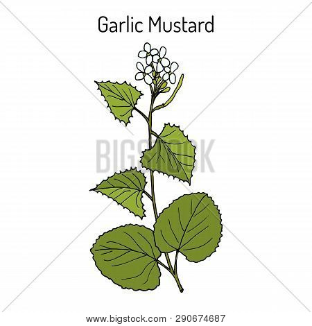 Garlic Mustard Alliaria Petiolata , Or Jack-by-the-hedge, Sauce-alone, Jack-in-the-bush, Penny Hedge