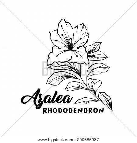 Azalea, Ericaceae Flowers Hand Drawn Illustration. Beautiful Blooming Plant Ink Pen Sketch. Freehand