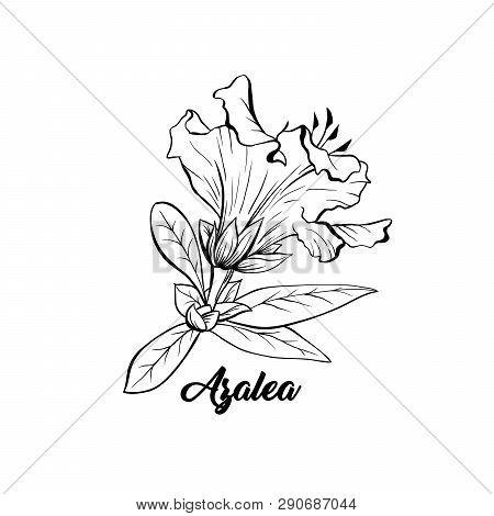 Azalea, Ericaceae Japonica Flower Hand Drawn Illustration. Beautiful Blooming Plant Ink Pen Sketch.