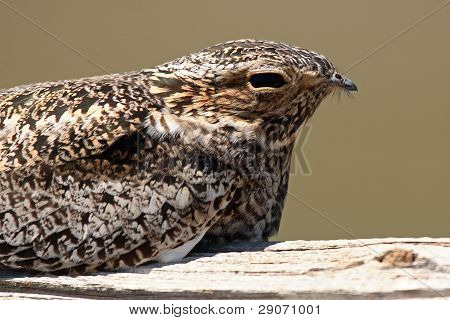A portrait of a Common Nighthawk in Colorado. poster