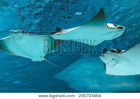Cute Stingray Swims In Aquarium Close-up, Bottom View