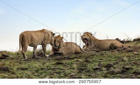 Interaction between three young lion brothers. These adolescents have left their pride and will be nomads until they fight for supremacy in a new pride.