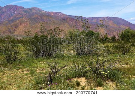 Lush Grasslands And Spring Wildflowers Amongst The Creosote Bush With Barren Mountains Beyond Taken