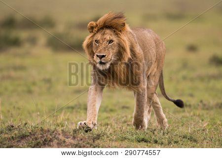 Male African Lion In Masai Mara, Kenya