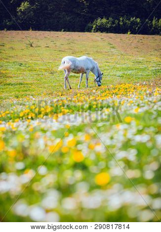 Fantastic view of floral pasture with Arabian horse in the sunlight. Location Carpathian mountain, Ukraine, Europe. Scenic image of farmland. Great picture of wild area. Discover the beauty of earth.