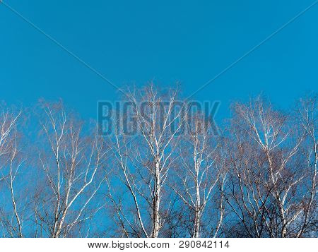 The Beginning Of Spring. White Birch Without Foliage On Blue Sky