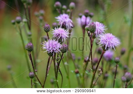Thistles Growing In Meadow With Feathery Lilac Blossoms And Closed Buds