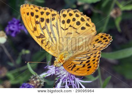 Butterfly Argynnis  Paphia