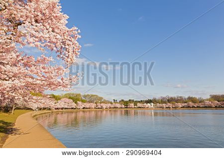 Blossoming Cherry Trees Around Tidal Basin In Washington Dc In Spring During The National Cherry Blo