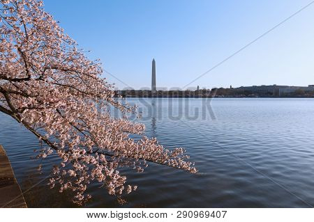 Blossoming Cherry Trees Around Tidal Basin Reservoir In Washington Dc. Urban Landscape In Spring Dur