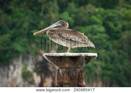 Close Up Of A Pelican In Nature. Amazing Nature. Close Up Of A Pelican In Nature. Pelican Bird. Natu