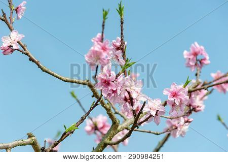 Peach Blossom Tree Flowers Against Blue Sky In Longquanyi Mountains, Chengdu, China