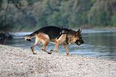 German shepherd on the shore of a lake poster