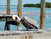 Single Pelican standing on a fishing dock cleaning his feathers poster