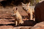 A Kit Fox puppy and mother outside their den in Utah poster