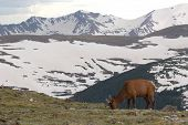 An Elk bull feeding against the backdrop of the Rocky Mountains in Rocky Mountain National Park, Colorado. poster