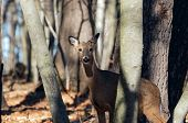 White-tailed deer (Odocoileus virginianus) also knows as Virginia deer - Hind in winter forest.Wild nature scene from Wisconsin poster