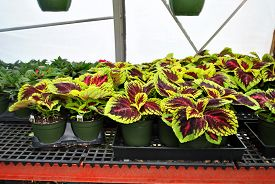 Potted Coleus Plants Growing In A Greenhouse