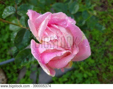 Delicate Pink Rose In Dew Drops. The Bud Began To Bloom. Rose Varieties Amazing Grace Myriam