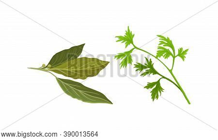 Parsley And Bay Leaf As Kitchen Potherbs Vector Set