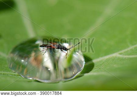 Hemiptera Oxycarenus Lavaterae Trapped On A Dewdrop.