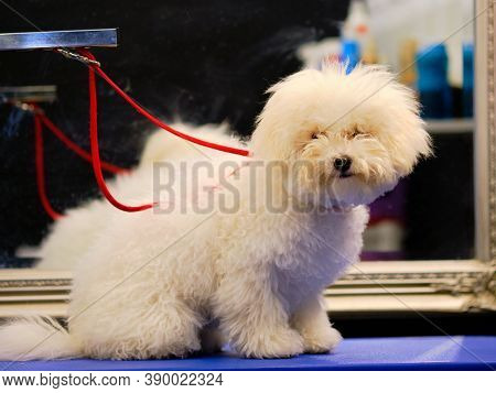 Bichon Frieze Is On The Table In Front Of The Grooming Procedures. The Dog Needs Washing, Drying And
