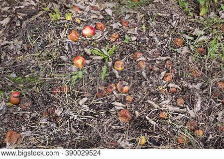 Autumn, Month Of October, Fallen Rotting Apples On The Ground