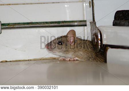 Black Rat Rattus Rattus In A Kitchen.